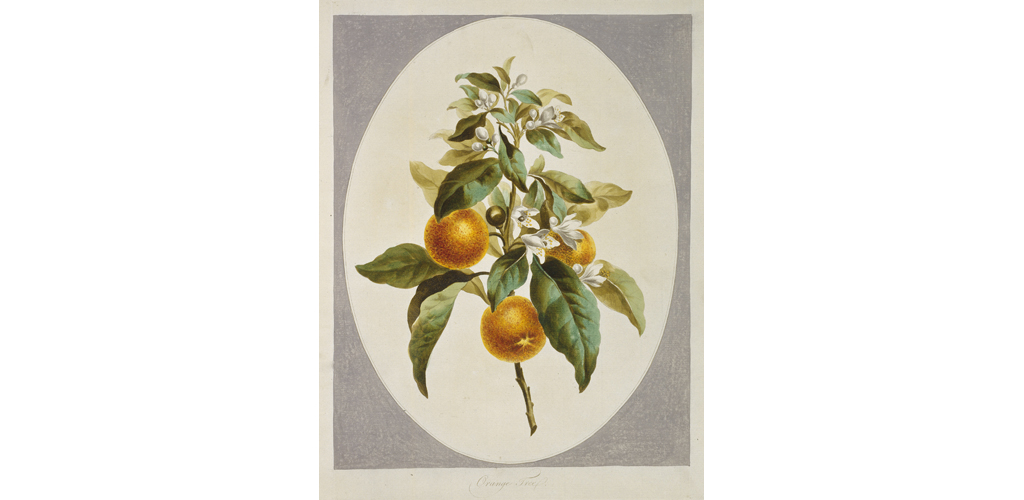 Citrus sinensis, orange tree