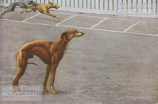 Mary Evans Picture No 10555112 - Whippets. A whippet stands with its tail between its legs as two whippets race each other in the background