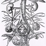 Anatomy of pregnancy. Engraving from the 16th century of the anatomy of a pregnant woman's urogenital system. Within the opened uterus (lower center) is a fetus. The ovaries are at lower left and lower right, with the vagina at bottom center. At bottom left is the bladder, whilst the kidneys are at upper left and upper right. The vertical blood vessels between the kidneys are the aorta artery (narrower of the 2) and the inferior vena cava vein. These split (at center) to form iliac veins and arteries. The umbrella-shaped object (at top) is the liver. Image taken from De conceptu et generatione hominis (1580) by Jakob Rueff.