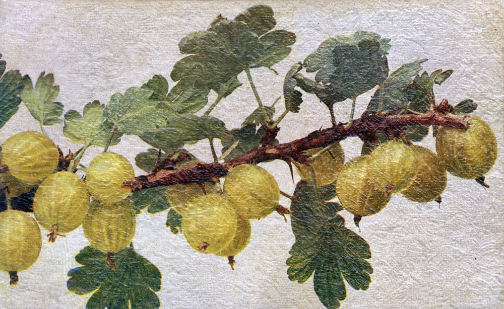 Gooseberries on a branch          Date: