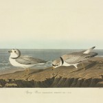 Charadrius melodus, piping plover. Plate 220 from John James Audubon's Birds of America, original double elephant folio (1834-35).   1830s