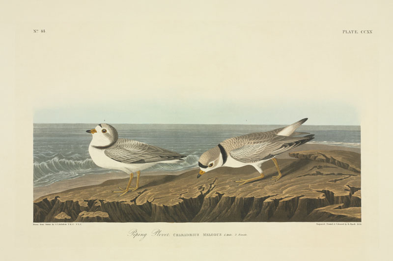 Charadrius melodus, piping plover. Plate 220 from John James Audubon's Birds of America, original double elephant folio (1834-35).   1830s