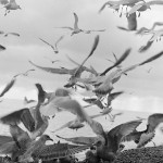 Close-up of gulls on and above the beach,     Date: 1977