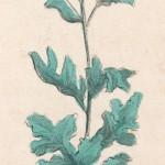 Senecio Jacobaea, Ragwort.   circa 1820