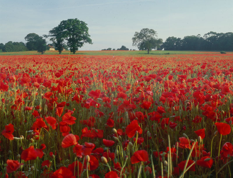 Poppy Field and Trees.   20th century
