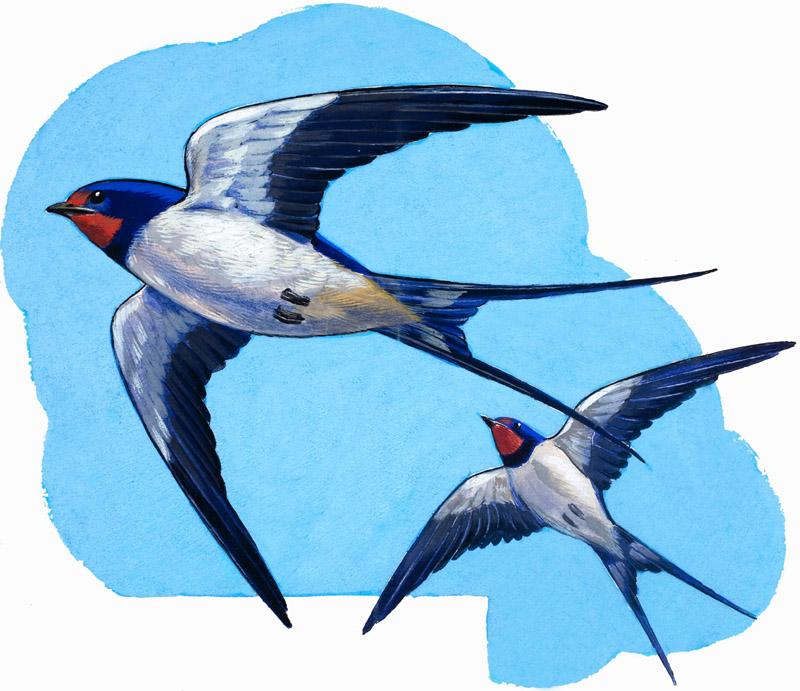 Swallows. Detail from Treasure no. 66 (18 April 1964).   1964