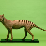 A mounted specimen of this carnivorous marsupial mammal, now probably extinct. Also known popularly as the Tasmanian Tiger.