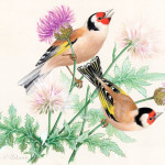 Two goldfinches on thistle