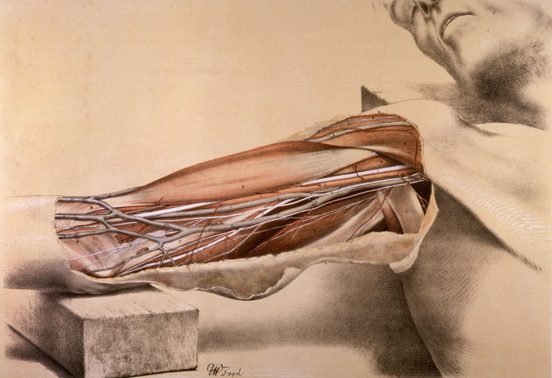Superficial view of the arm on  the inner side, with the parts undisturbed.   1867