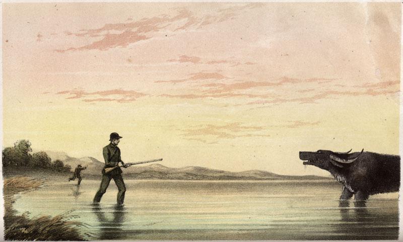 The Charge of Sixpences -- a buffalo hunt in Ceylon (Sri Lanka).     Date: 1854