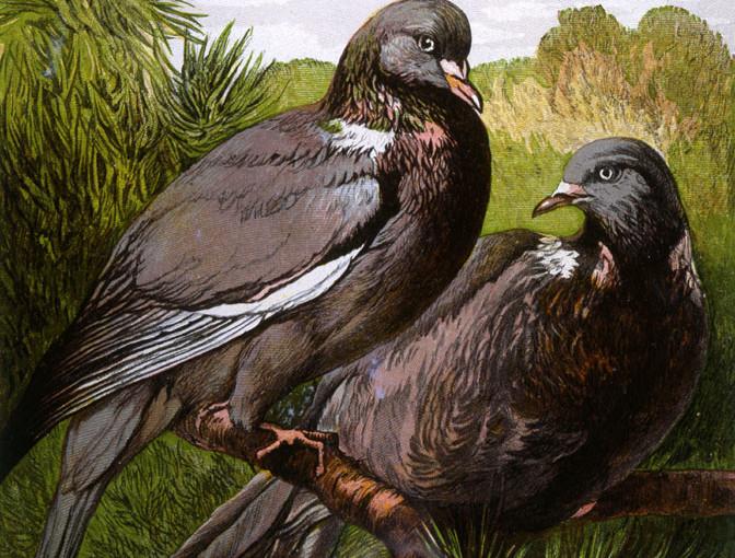 Wood Pigeon Rat-a-tat Tat