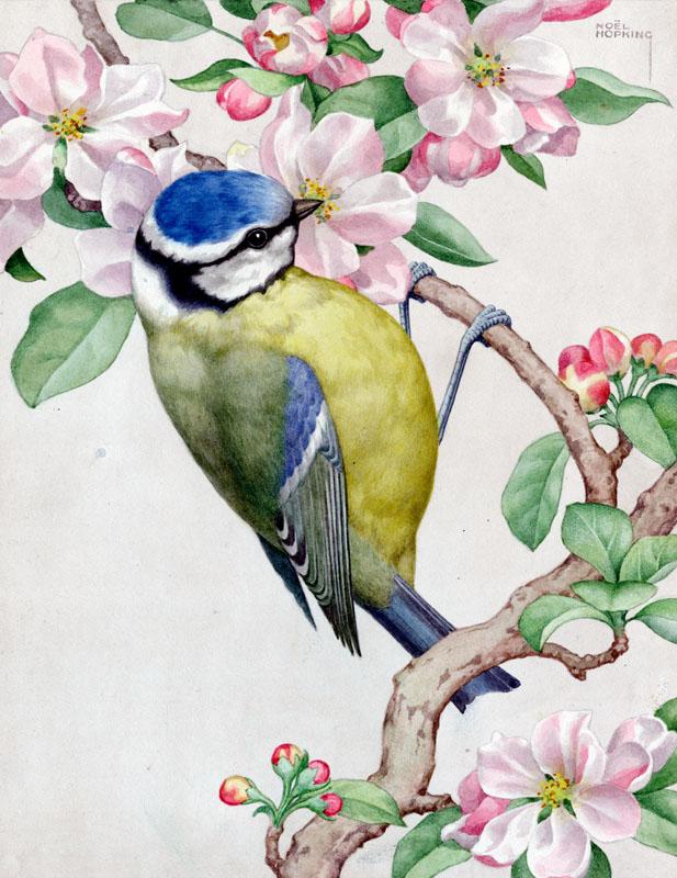 Blue tit on apple blossom