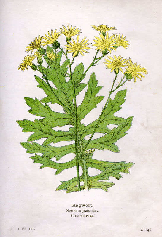 Senecio Jacobaea, Ragwort, or St James's Wort, or Stagger-Wort, or Stammer-Wort.      Date: early 20th century