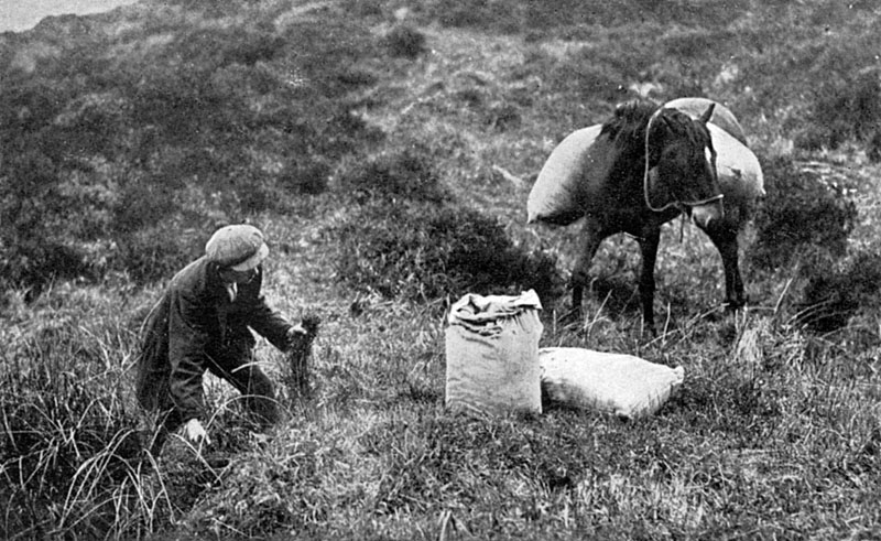 Picking up sphagnum moss on the moors on the Royal Duchy of Cornwall estate near Princetown for use in surgical dressings during the First World War.  The dried moss was highly effective due to its antiseptic and absorbent properties.       Date: 1917