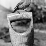 A robin perches on the handle of a spade.       Date: 1930s