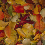 Forest Floor  leaves on the ground in a forest  predominantly red, orange and yellow.   1995