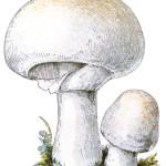 Agaricus species: either Campestris or Bisporus.    19th century