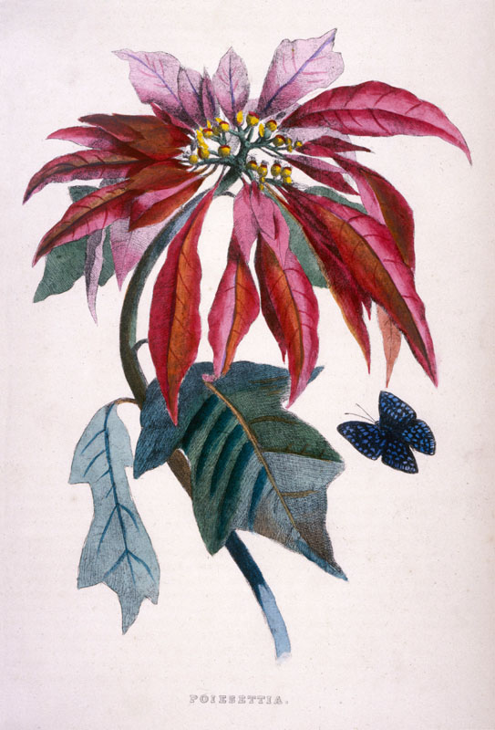 Poinsettia with attendant butterfly.   circa 1840