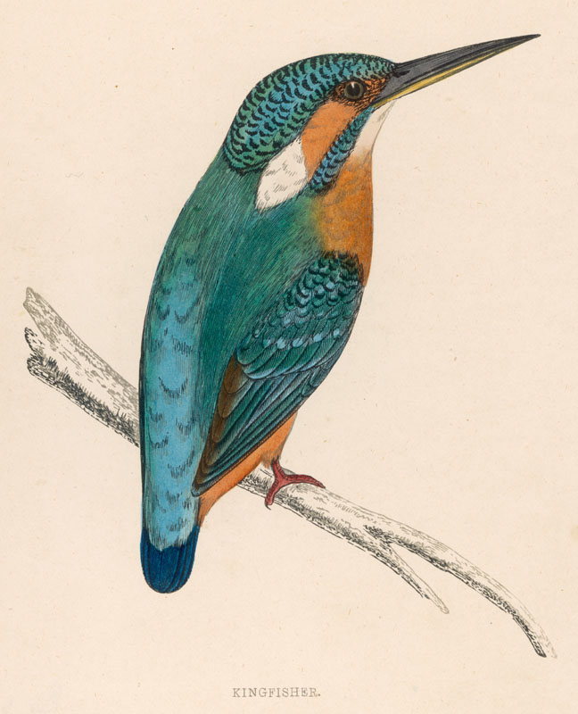 A kingfisher sitting on a thin branch. (Alcedo ispida)   1851