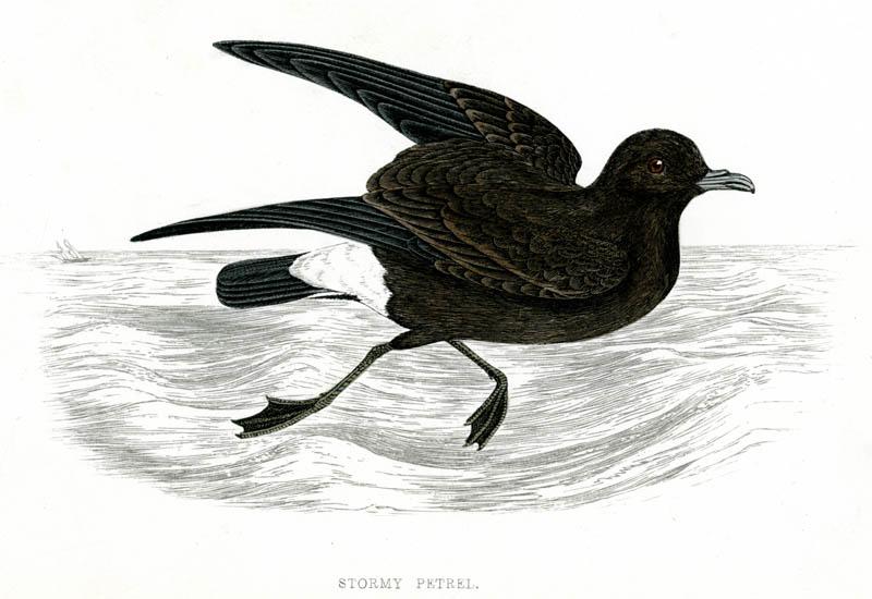 STORM / STORMY PETREL (Procellaria pelagica)    1851