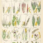 Grasses. Chromolithograph from Sir William Jackson Hooker, The British Flora, Vol.1. Tab IX.  1842