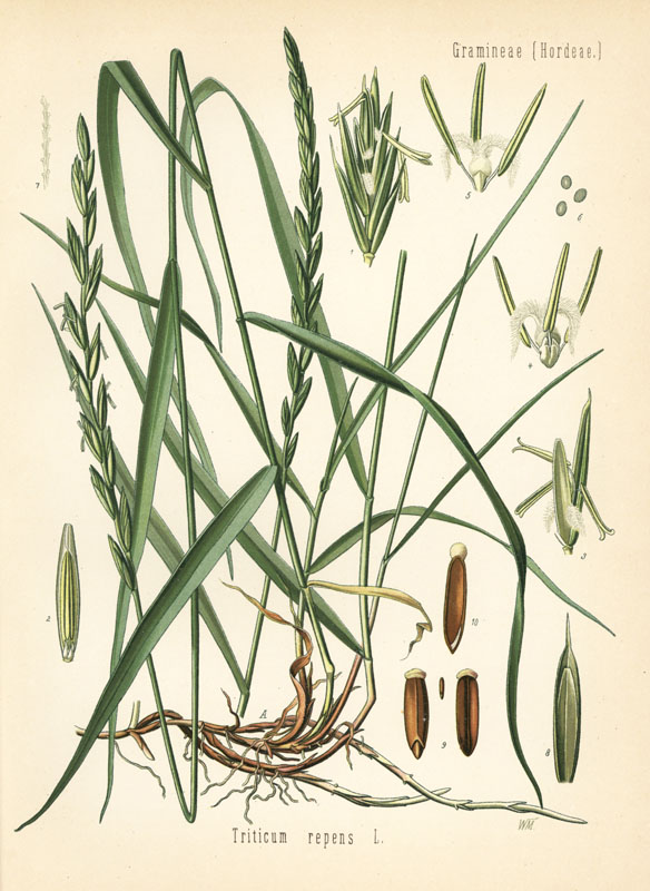 Couch grass, Elymus repens (Triticum repens). Chromolithograph after a botanical illustration by Walther Muller from Hermann Adolph Koehler's Medicinal Plants, edited by Gustav Pabst, Koehler, Germany, 1887.  1887