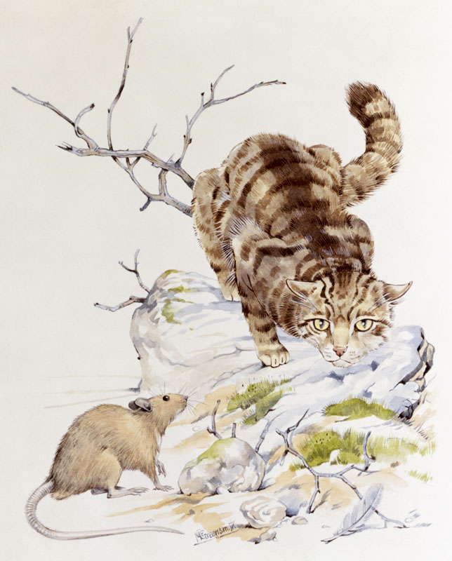 A tabby cat on the prowl stalks a brown rat. Watercolour painting by Malcolm Greensmith   circa 1980