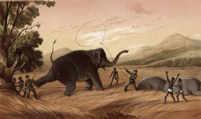Hold Fast -- hunters attempting to trap an elephant in Ceylon (Sri Lanka).      Date: 1854