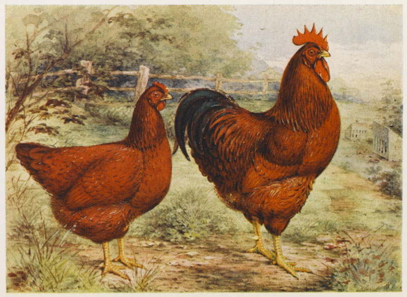 Rhode Island Red cock and hen          Date: 1919