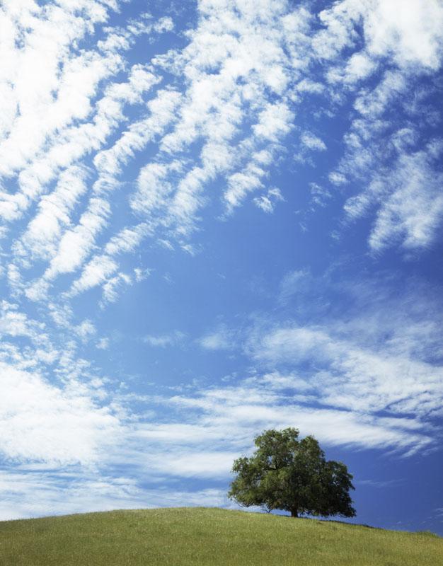 LARGE LONE GREEN OAK TREE ON HILLTOP BLUE SKY KERN COUNTY CALIFORNIA