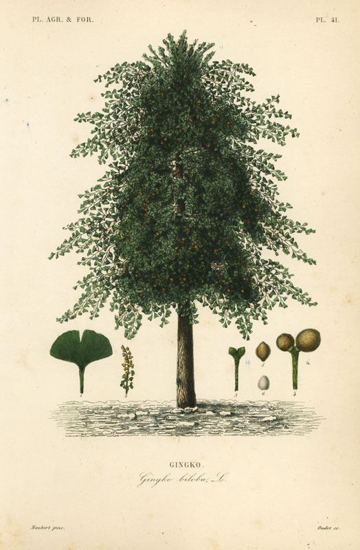 Gingko, ginkgo or maidenhair tree, Ginkgo biloba, Gingko biloba, gingko. Endangered. Handcoloured steel engraving by Oudet after a botanical illustration by Edouard Maubert from Pierre Oscar Reveil, A. Dupuis, Fr. Gerard and Francois Herincq's La Regne Vegetal: Planets Agricoles et Forestieres, L. Guerin, Paris, 1864-1871.   19th century